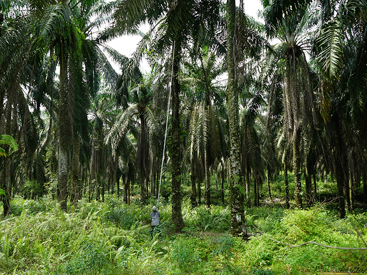 A journey through agro-industrial territories of palm oil production in Southeast Asia <br srcset=